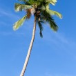 Coconut palm tree in Philippines — Stock Photo #43866539