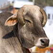 Indian holy cow — Stock Photo #47343833