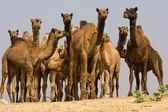 Camel at the Pushkar Fair.  Rajasthan, India — Stock Photo