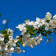 Branches of a blossoming apple tree against the blue sky — Stock Photo #47435165
