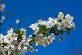 Branches of a blossoming apple tree against the blue sky — Stock Photo