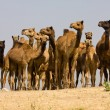 Camel at the Pushkar Fair in Rajasthan, India — Stock Photo
