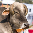 Indian holy cow in front of the typical Indian house, Varanasi, India — Stock Photo #47925349