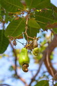 Cashew nuts growing on a tree. — Stock Photo