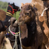 Camel at the Pushkar Fair , Rajasthan, India — Stock Photo