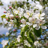 Apple tree with white flowers — Stock Photo
