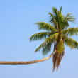 Coconuts palm tree — Stock Photo #48374721
