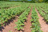 Green sunflower field — Stock Photo