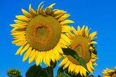 Sunflower field over blue sky — Stock Photo