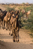 Camel at the Pushkar Fair , India — Stock Photo