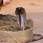 King cobra snake in northern India — Foto Stock