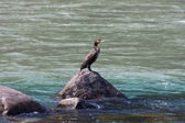 Single duck gazing the water on the Ganges River. India. — Stock Photo