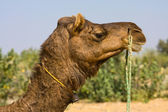 Camel at the Pushkar Fair ( Pushkar Camel Mela ) Rajasthan, India — Stock Photo
