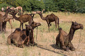 在普什卡公平、 拉贾斯坦邦、 印度的骆驼 — 图库照片