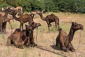 Wielbłąd w pushkar targów, radżastan, indie — Zdjęcie stockowe