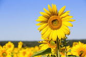 Sunflowers field in Ukraine — Stock Photo