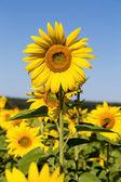 Sunflowers field in Ukraine — Foto de Stock