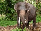 Elephant in Thailand — Stock Photo
