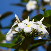 White Frangipani flower at full bloom during summer. Plumeria. — Stok fotoğraf