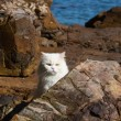 Adorably cute white tabby Persian Ragdoll cat sitting relaxed on the beach — Stock Photo #51173377