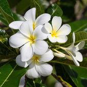 White Frangipani flower at full bloom during summer. Plumeria. — Stock Photo
