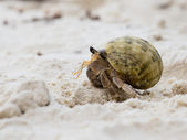 Hermit crab in the shell of a snail — Stock Photo