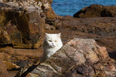 Adorably cute white tabby Persian Ragdoll cat sitting relaxed on the beach — Stock Photo