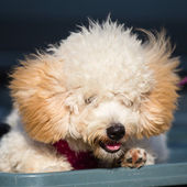 Adorable pure breed bichon frise dog — Stock Photo