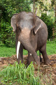Elephant in Thailand — Stock Photo
