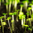 Stockfoto: Sprouts