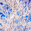 Branches in the snow — Stock Photo