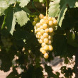 Grapes in sunshine — Stock Photo #18138481