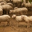 Group of sheep — Stock Photo #18138731