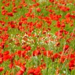 Poppies field — Stock Photo #37980389