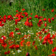Poppies field — Stock Photo #37980465