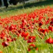 Poppies field — Stock Photo #37980557