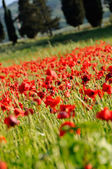 Champ de coquelicots — Photo