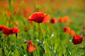 A single poppy — Stock Photo