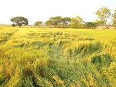 Rice Paddy Field — Stock Photo