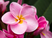 Close up pink frangipani flowers — Stock Photo