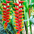 Red Heliconia flower in its natural habitat. — Stock Photo