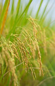 The ripe rice in the fields — Stock Photo