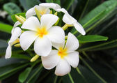 White frangipani flowers with leaves in background — Stock Photo