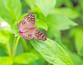 Buckeye butterfly on a green leaves — Stock Photo
