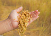Wheat ears in the hand.Harvest concept — Stock Photo