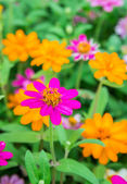 Colorful Zinnia flowers in the garden — 图库照片