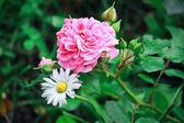Chamomile and rose bud — Stock Photo