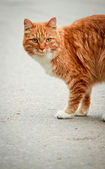 Red stray cat — Stock Photo