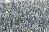 Snow covered fir — Stock Photo