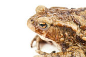 Toad on white — Stock Photo